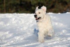 Golden retriever dog running on snow Royalty Free Stock Photos