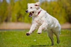 Golden retriever dog running Stock Images
