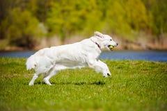 Golden retriever dog running Stock Photo