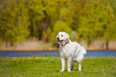 Golden retriever dog running Royalty Free Stock Photo