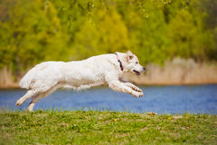 Golden retriever dog running Stock Photos