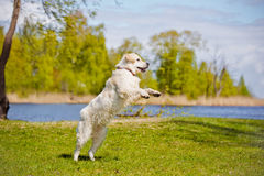 Golden retriever dog running Royalty Free Stock Images