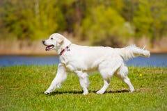 Golden retriever dog running Stock Image