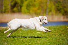 Golden retriever dog running Stock Photography