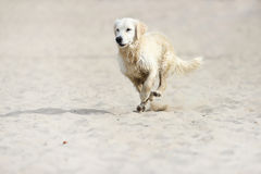 Golden Retriever dog runs. Fast Royalty Free Stock Image