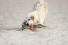 Golden Retriever dog runs fast Stock Photo