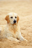 Golden Retriever dog in sand Royalty Free Stock Images