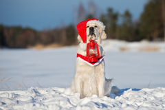 Golden retriever dog in a santa hat outdoors in winter Royalty Free Stock Images