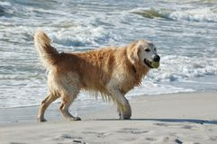 Golden retriever dog at the sea Royalty Free Stock Photos