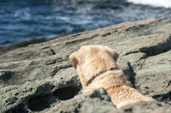 Golden Retriever dog on sea rock Royalty Free Stock Image