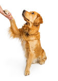 Golden Retriever Dog Shaking Hands Stock Photo