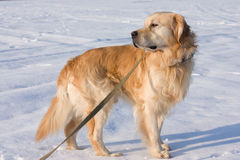 Golden Retriever dog in show Royalty Free Stock Photo