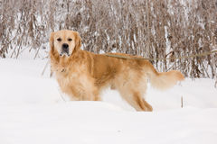 Golden Retriever dog in show Stock Image