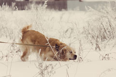 Golden Retriever dog in show with Instagram style filter Stock Images