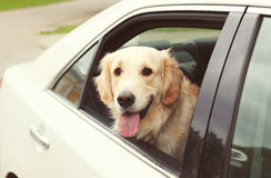 Golden Retriever dog sits in the car and looking out Stock Photography