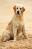 Golden Retriever dog sitting. A beautiful wet young thoroughbred Golden Retriever dog sitting in the sand outdoors Royalty Free Stock Images