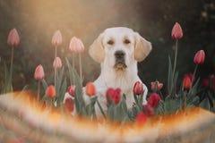 Golden retriever dog sitting in flower bed