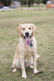 Golden Retriever Dog sitting in Grass with Stick. Playful happy dog sitting in grassy area with a stick Royalty Free Stock Photos