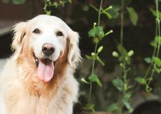 Free Golden Retriever Dog Sitting In The Garden Smiling With Her Tongue Out To The Camera Stock Image - 160074761