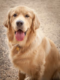 Golden Retriever Dog Sitting on a Path with Tongue Out Stock Photos