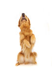 Golden Retriever dog sitting up Stock Image
