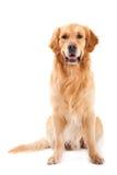 Golden retriever dog sitting on white