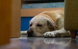 Golden Retriever dog sleep on the floor royalty free stock photos