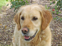 Golden retriever dog smiling and looking royalty free stock images