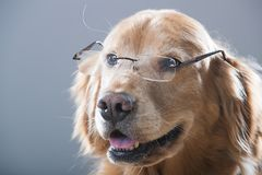 Golden Retriever Dog smiling and wearing glasses Royalty Free Stock Photography