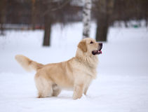 Golden retriever dog on the snow Stock Image