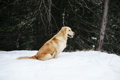 Golden retriever dog on the snow during an excursion. Golden retriever dog on the snow in the forest in the mountains during an excursion Stock Image