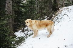 Golden retriever dog on the snow during an excursion. Golden retriever dog on the snow in the forest in the mountains during an excursion Stock Photography