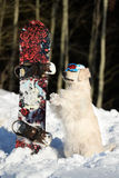 Golden retriever dog with snowboard Stock Photography