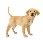 Golden retriever dog standing isolated in white background Stock Photo
