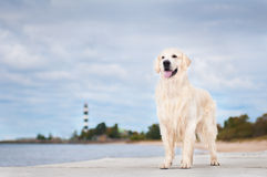 Golden retriever dog standing outdoors Stock Image
