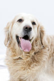 Golden Retriever dog. Sticking his tongue out Royalty Free Stock Photo