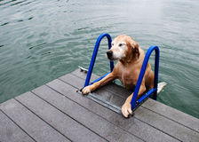 Golden Retriever Dog Strains to Climb Ladder. A golden retriever dog strains to climb a ladder from the lake onto the dock Stock Image