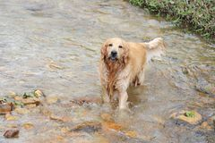 Golden retriever dog in stream Royalty Free Stock Photography