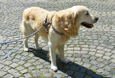 Golden retriever dog on the street stock photos
