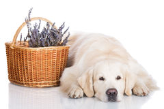 Golden retriever dog in the studio Royalty Free Stock Image