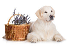 Golden retriever dog in the studio Royalty Free Stock Images