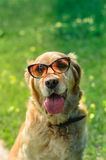 Golden retriever dog with sunglasses Royalty Free Stock Photo