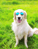 Golden Retriever dog in sunglasses sitting on the grass Stock Photography