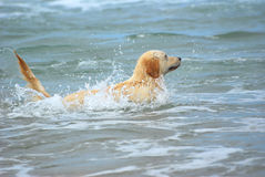 Golden Retriever dog swimming. A beautiful young wet Golden Retriever dog playing and swimming in the sea water Stock Images