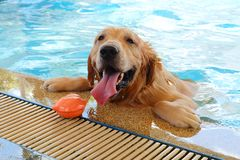 Golden retriever dog is swimming. Stock Image