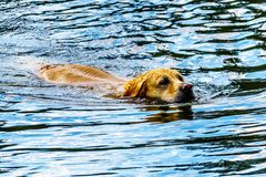 Dog swimming in Stake Lake near Kamloops British Columbia, Canada. Golden Retriever dog swimming in Stake Lake along the Lac Le Jeune Road near Kamloops British royalty free stock photo