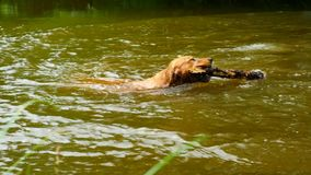 Golden retriever - dog swims in the pond. The dog is playing with branch and enjoy cold water. Under trees stock video footage