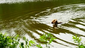 Golden retriever - dog swims in the pond. The dog is playing with branch and enjoy cold water. Under trees stock video