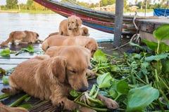 Golden Retriever dog TEA eat vegetables. Stock Photo