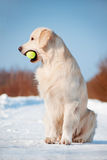 Golden retriever dog with a tennis ball in his mouth Royalty Free Stock Photography